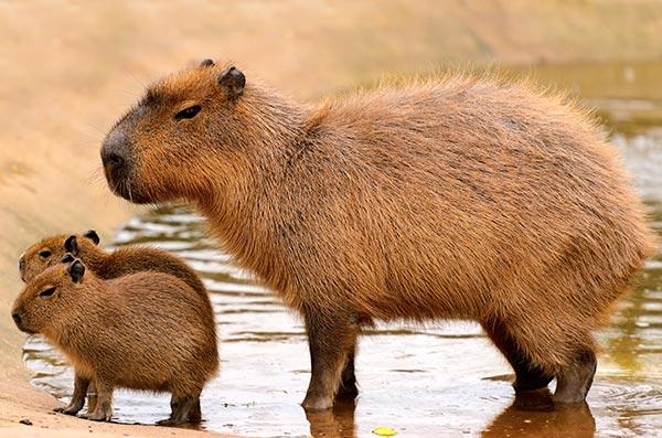 capybara-family_15762686447_f9f8a0684a_o