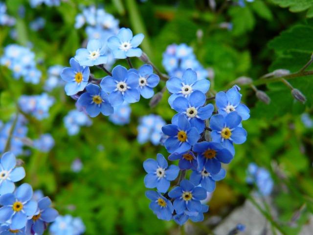 Alaska state flower: forget-me-not